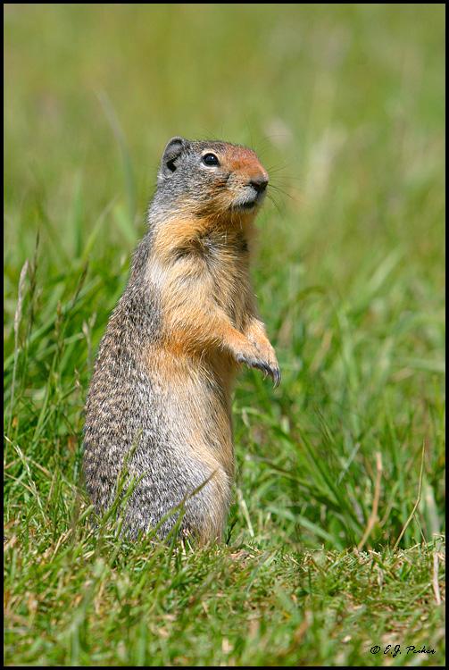 AB_ColumbianGroundSquirrel02.jpg