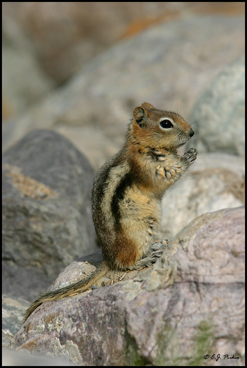Golden-mantled Squirrel, Lake Louise, AB