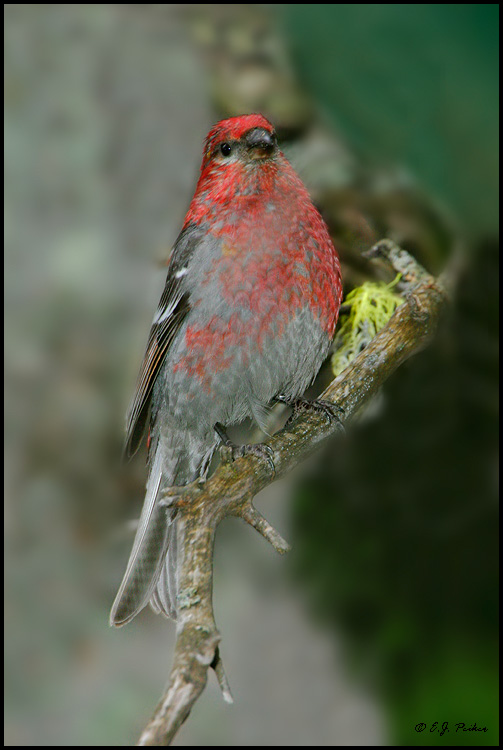 Pine Grosbeak, Moraine Lake, AB