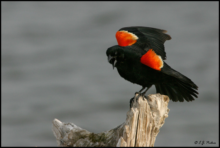 Red-winged Blackbird, Arivaca, AZ