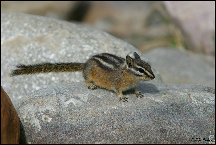 Yellow-pine Chipmunk, Lake Louise, AB