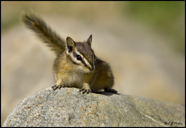 Yellow-pine Chipmunk, Lake Agnes, AB