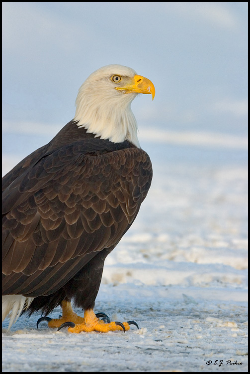 Bald Eagle, Homer, AK