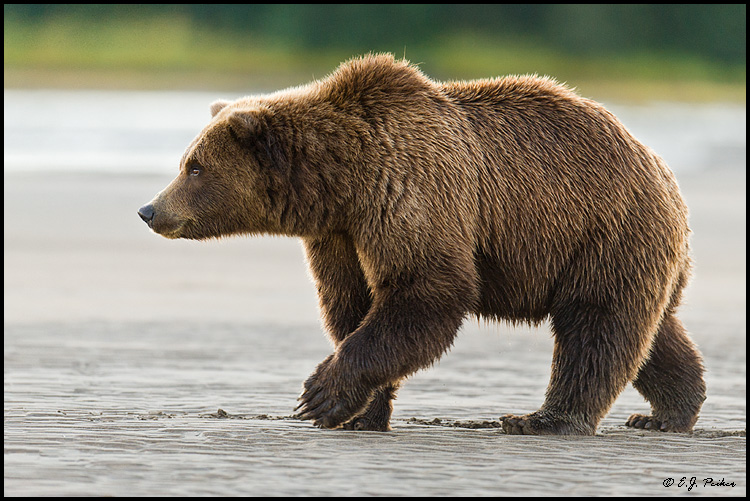 Brown bear - photo#17