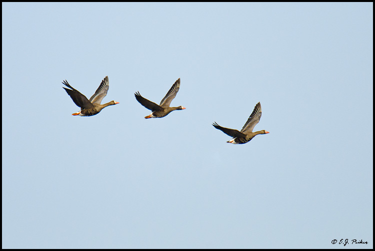 Greater White-fronted Goose, Barrow, AK