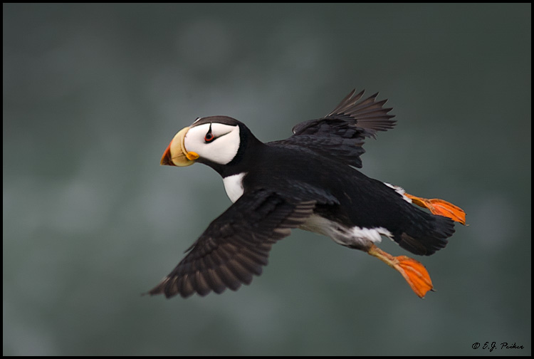 Horned Puffin, Saint Paul, AK
