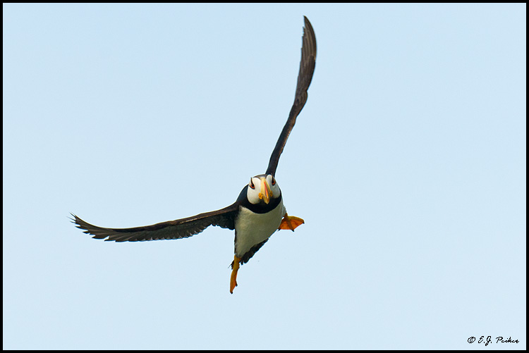 Horned Puffin, Cook Inletl, AK