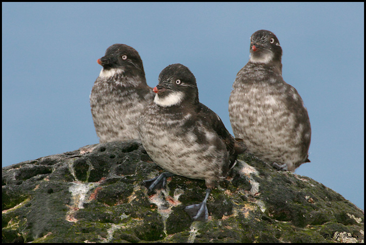 Least Auklet, Saint Paul, AK