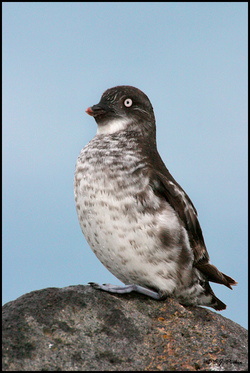 Least Auklet  Saint Paul  AKLeast Auklet