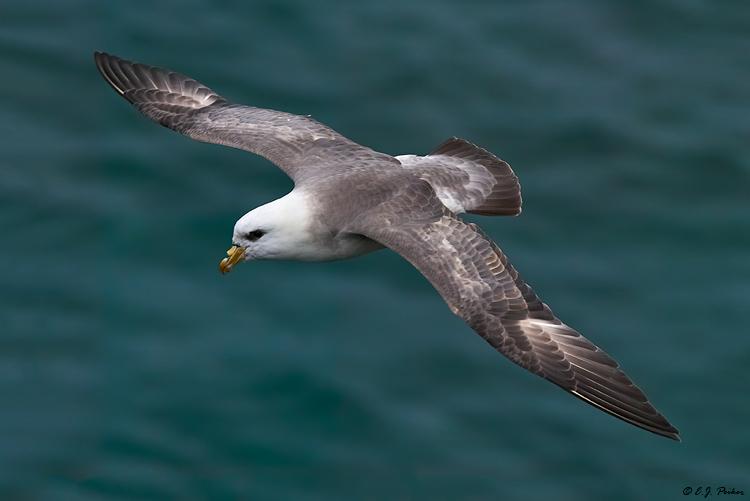 northern fulmar | bird | Britannica.com