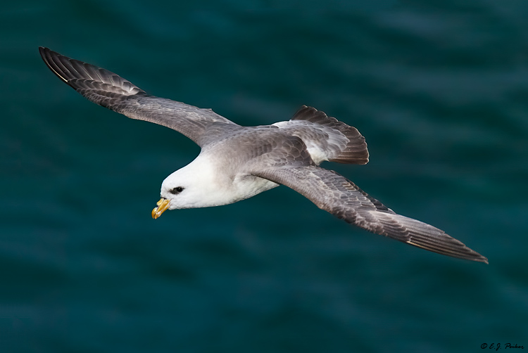 Northern Fulmar, Saint Paul, AK