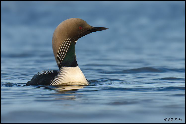 Pacific Loon, Barrow, AK