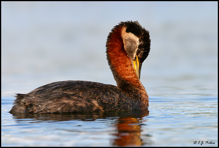 Red-necked Grebe, Anchorage, AK
