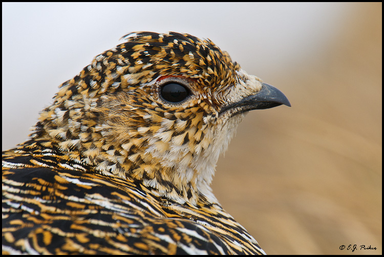 Rock Ptarmigan, Barrow, AK