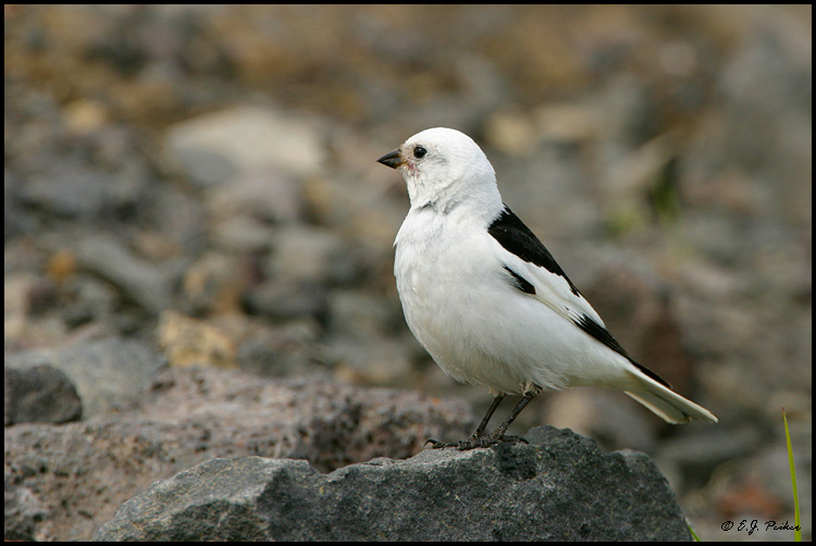 Snow Bunting, Saint Paul, AK