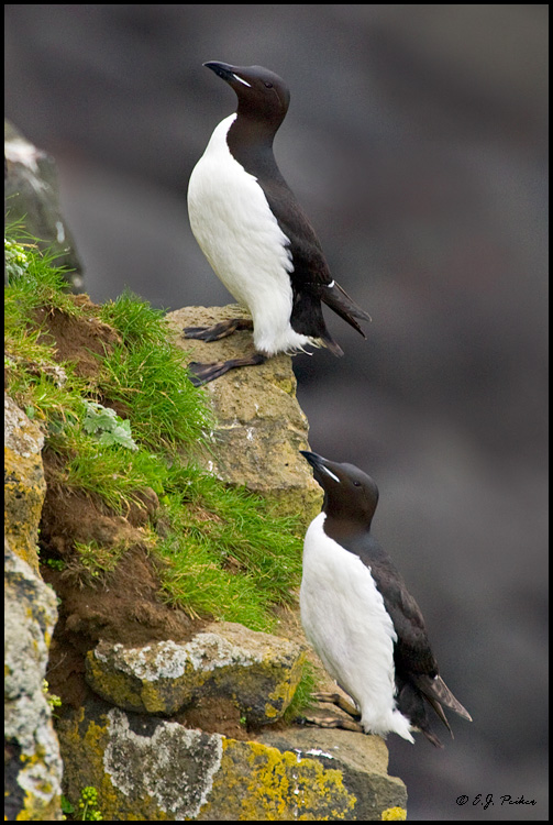 Thick-billed Murre, Saint Paul, AK