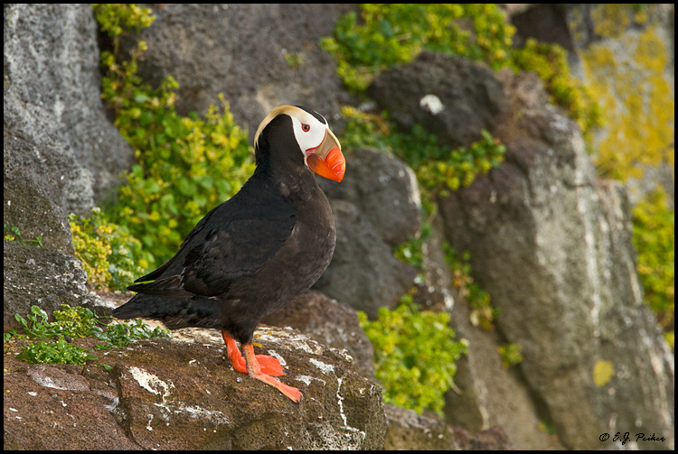 Tufted Puffin, Saint Paul, AK