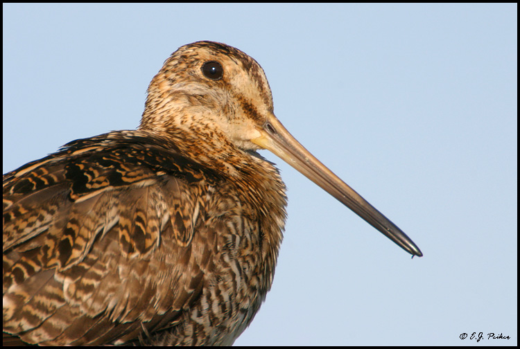 Wilson's Snipe, Anchorage, AK