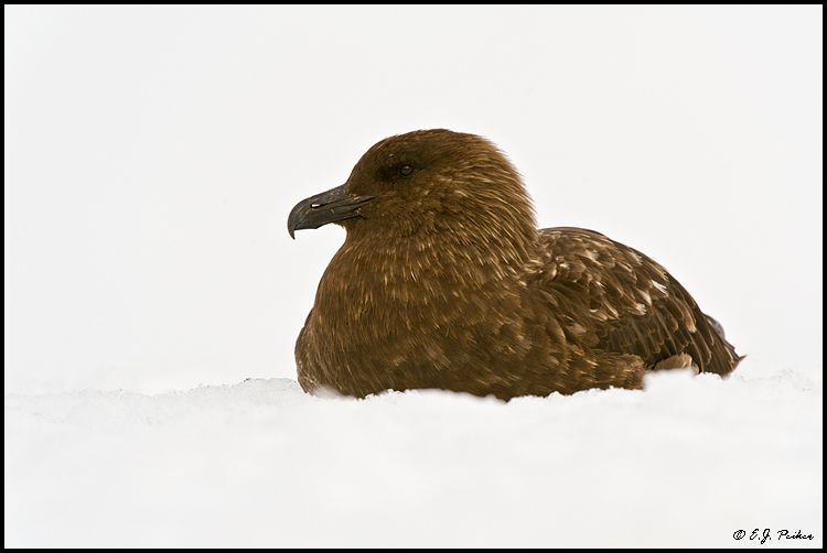 Brown Skua, Antarctica