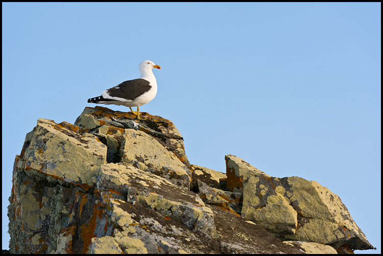 Kelp Gull, South Shetland Islands