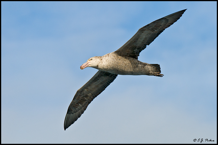 Northern Giant Petrel, Drake Passage