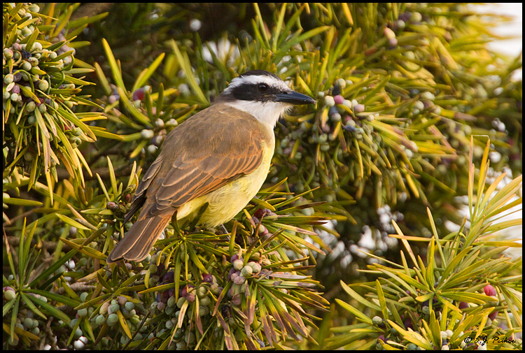 Great Kiskadee, Buenos Aires, Argentina