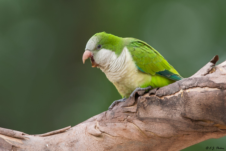 Monk Parakeet, Buenos Aires, Argentina