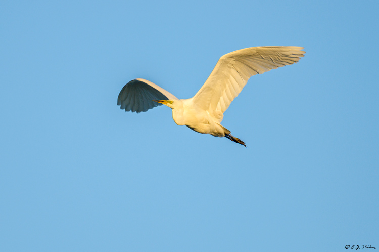 Great Egret, Austria
