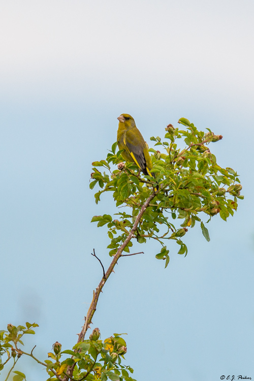 Greenfinch, Austria