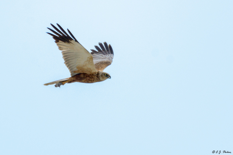Marsh Harrier, Austria