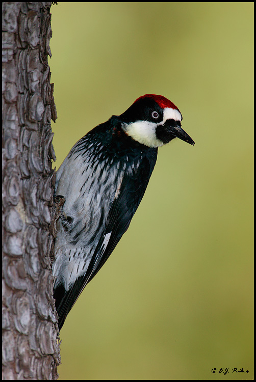 Acorn Woodpecker, Madera Canyon, AZ