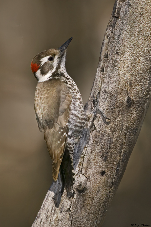 Arizona Woodpecker, Madera Canyon, AZ