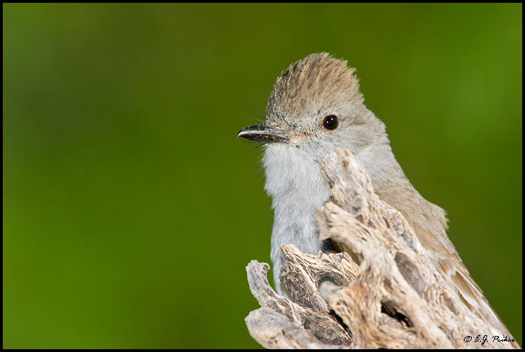 Ash-throated Flycatcher, Amado, AZ