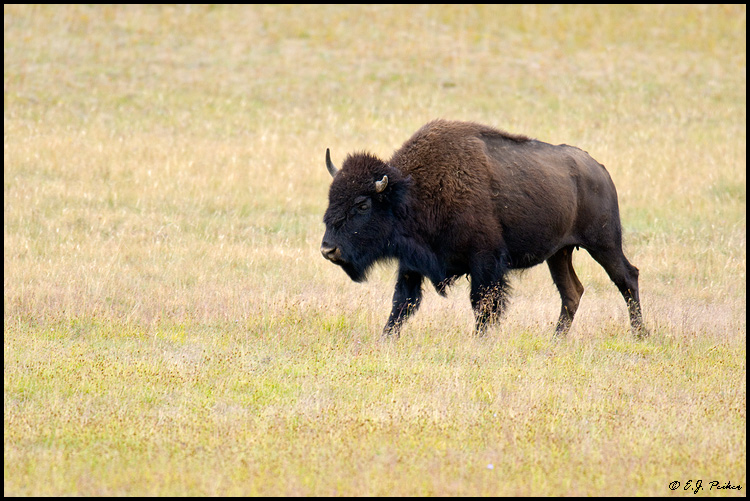 American Bison, Grand Canyon NP, AZ
