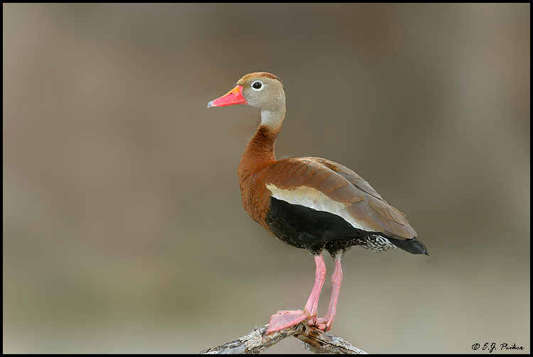 Black-bellied Whistling Duck, Chandler, AZ