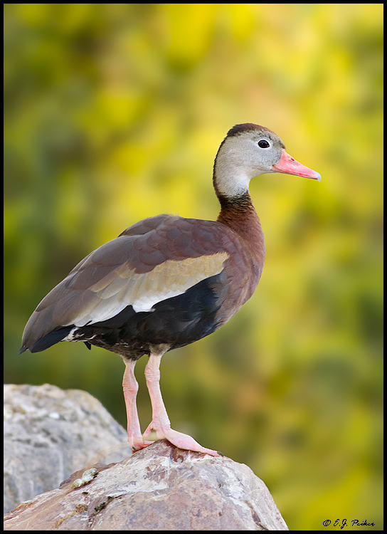 Black-bellied Whistling Duck, Litchfield Park, AZ