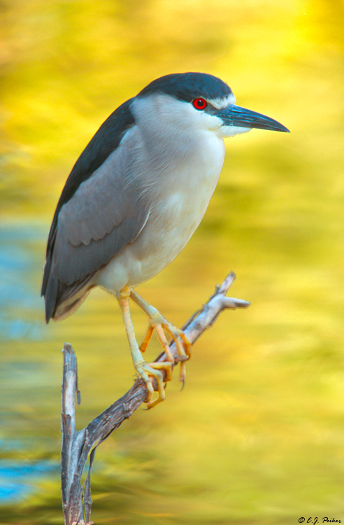Black-crowned Night Heron, Phoenix, AZ