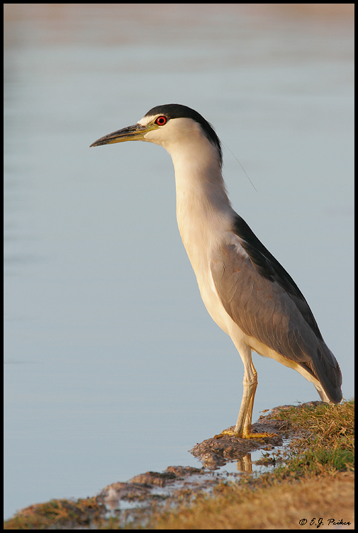 Black-crowned Night Heron, Chandler, AZ