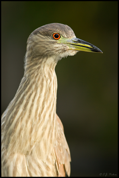 Black-crowned Night Heron, Litchfield Park, AZ