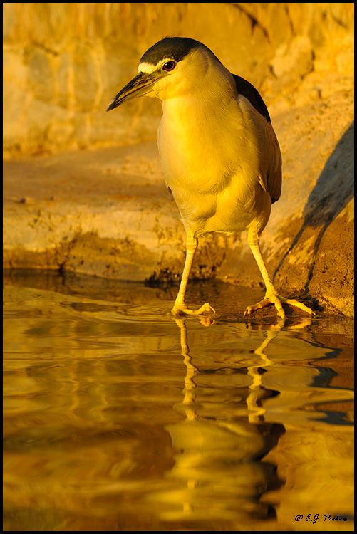 Black-crowned Night Heron, Gilbert, AZ