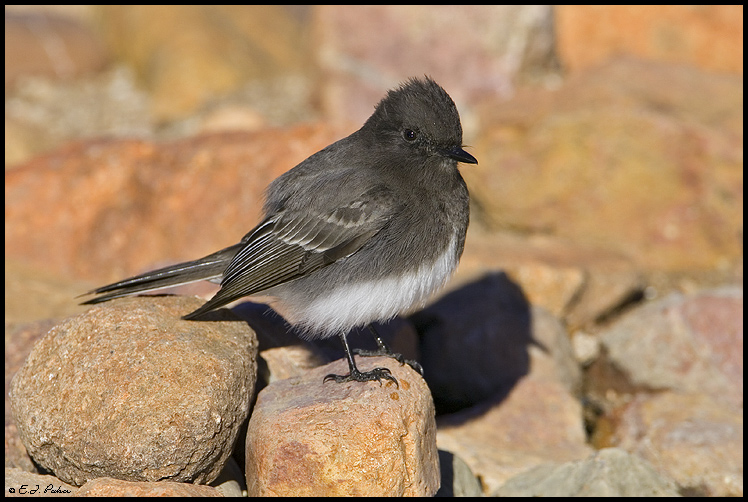 Black Phoebe, Green Valley, AZ