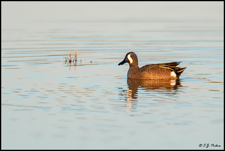 Blue-winged Teal, Chandler, AZ