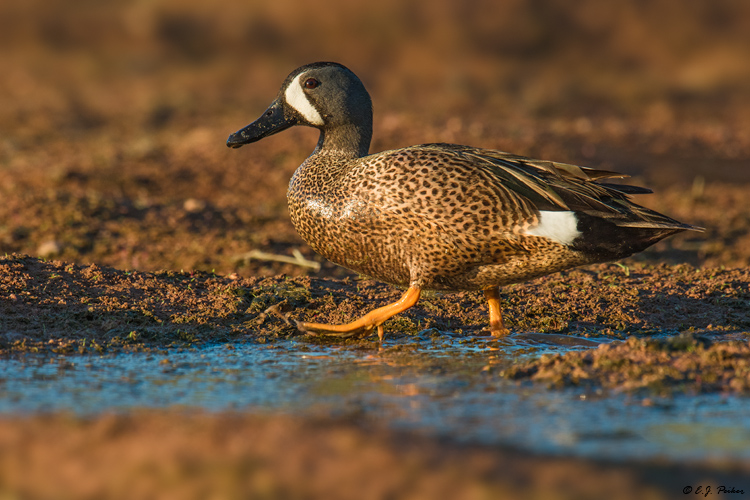 Blue-winged Teal, Gilbert, AZ