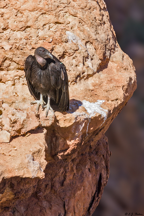 California Condor. Marble Canyon, Arizona