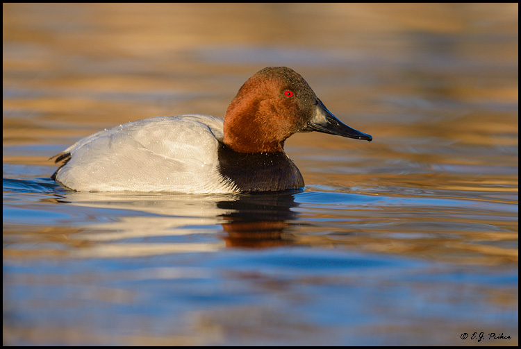 Canvasback, Prescott Valley, AZ
