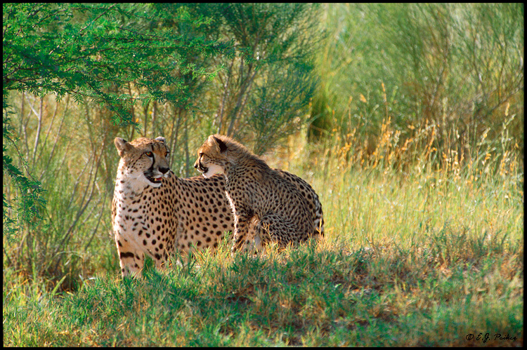 Mom and Cub Cheetah