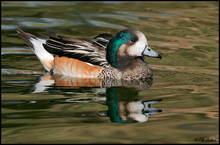 Chiloe Wigeon, Litchfield Park, AZ