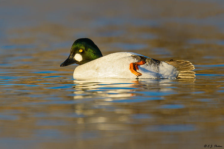 Common Goldeneye, Gilbert, AZ
