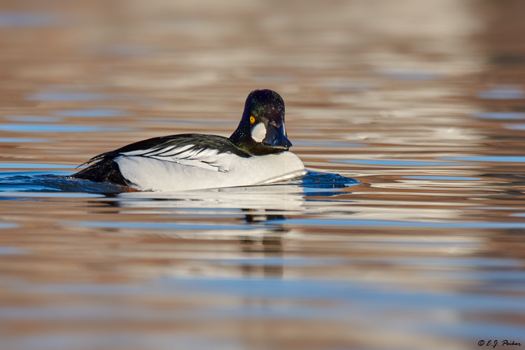 Common Goldeneye, Prescott Valley, AZ