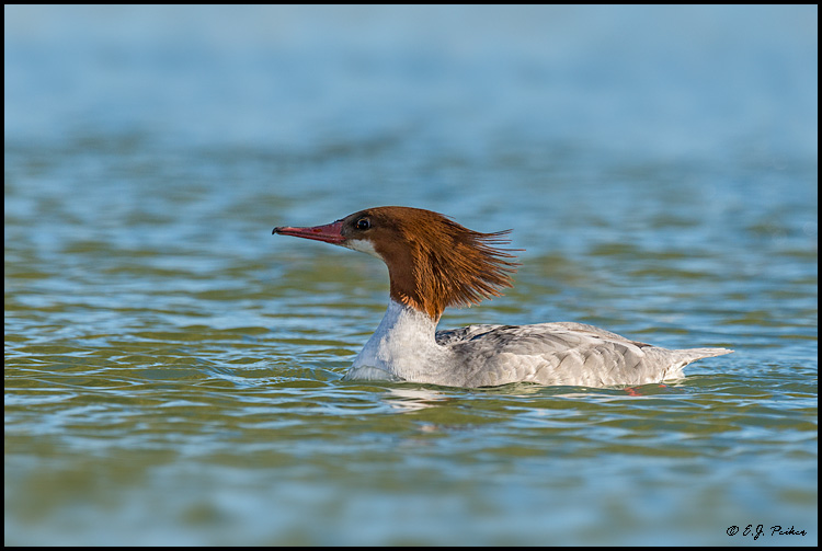 Common Merganser, Sun City West, AZ